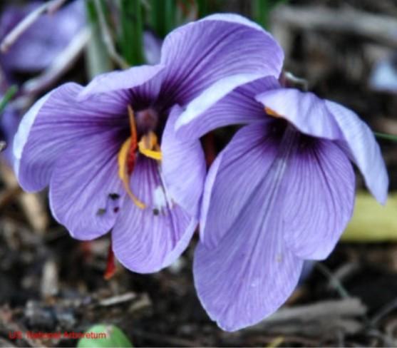 Crocus sativus / Crocus sativus