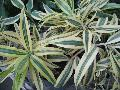 Song of India Dracaena / Dracaena reflexa