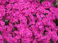 Sweet William / Dianthus barbatus