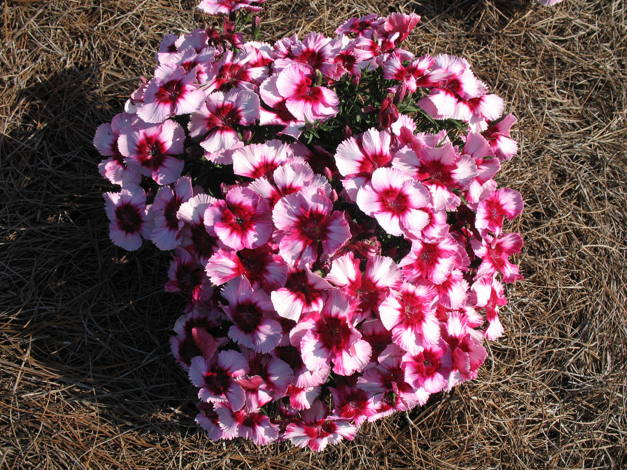 Dianthus 'Corona Cherry Magic' / Dianthus 'Corona Cherry Magic'