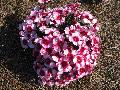 Corona Cherry Magic Dianthus / Dianthus