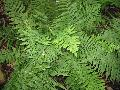 Golden-scaled Male Fern / Dryopteris affinis