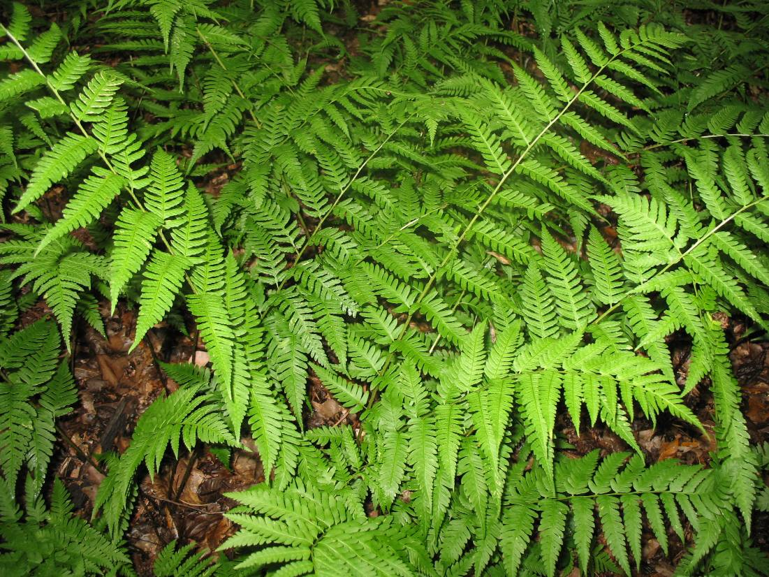 Dryopteris celsa / Dryopteris celsa
