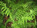 Log Fern / Dryopteris celsa