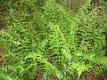Dixie Wood Fern / Dryopteris x australis