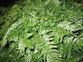 Rabbit Foot Fern / Davallia fejeensis