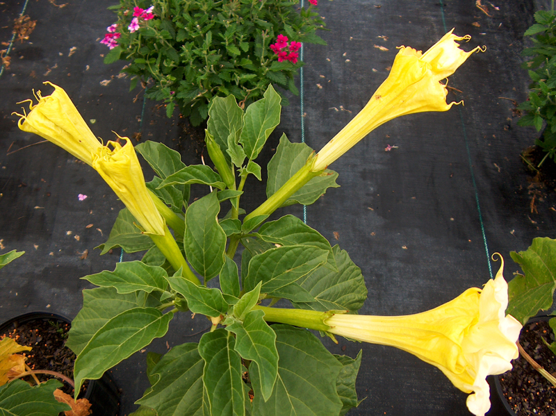 Datura fastuosa 'Double Golden' / Datura fastuosa 'Double Golden'
