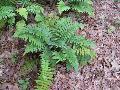 Shaggy Shield Fern / Dryopteris cycadina