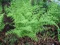 Marginal Wood Fern / Dryopteris marginalis