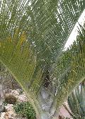 Triangle Palm / Dypsis decaryi