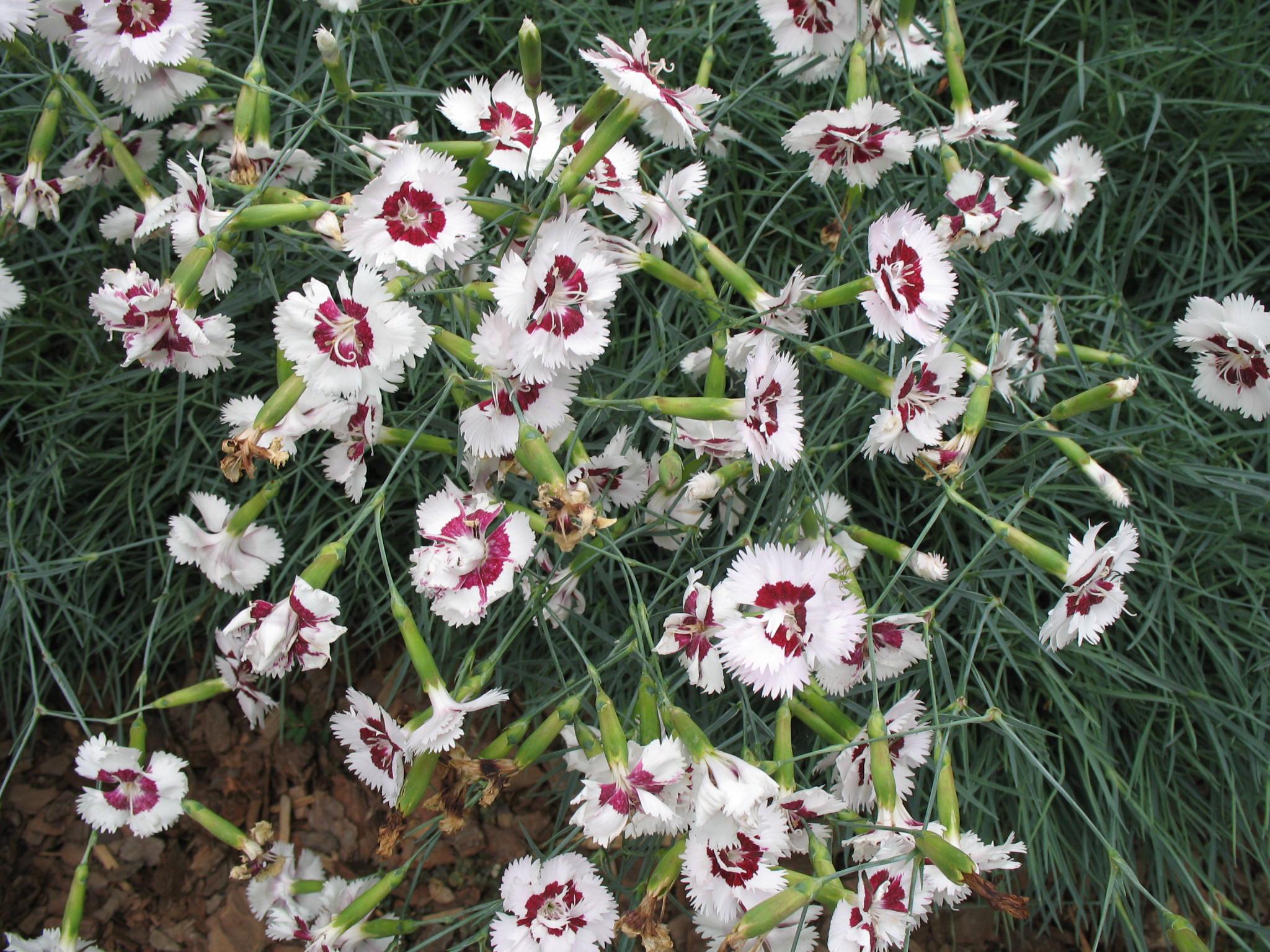 Dianthus 'Lady Granville' / Dianthus 'Lady Granville'