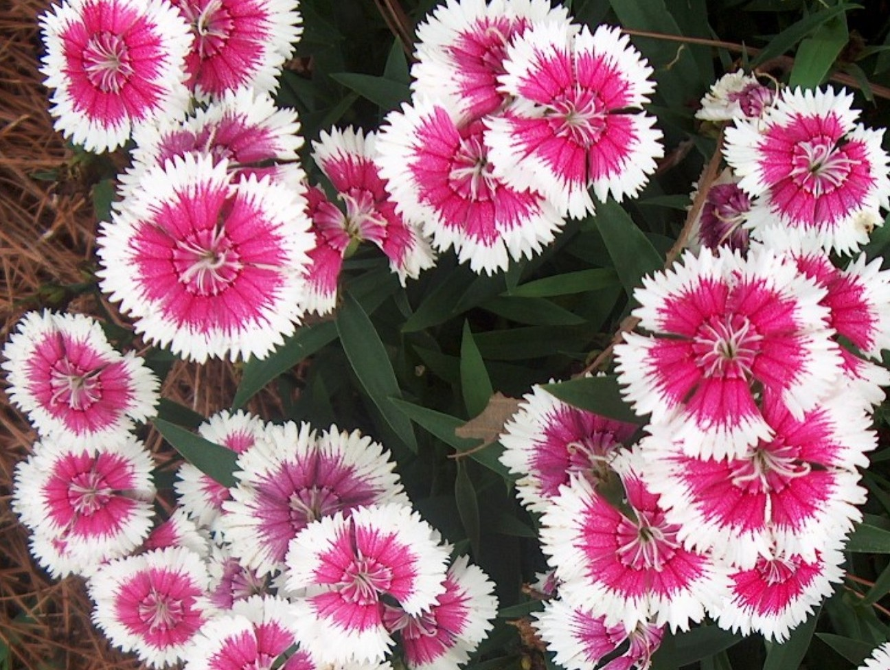 Dianthus chinensis  / Dianthus chinensis