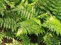 Vegetable Fern / Diplazium esculentum
