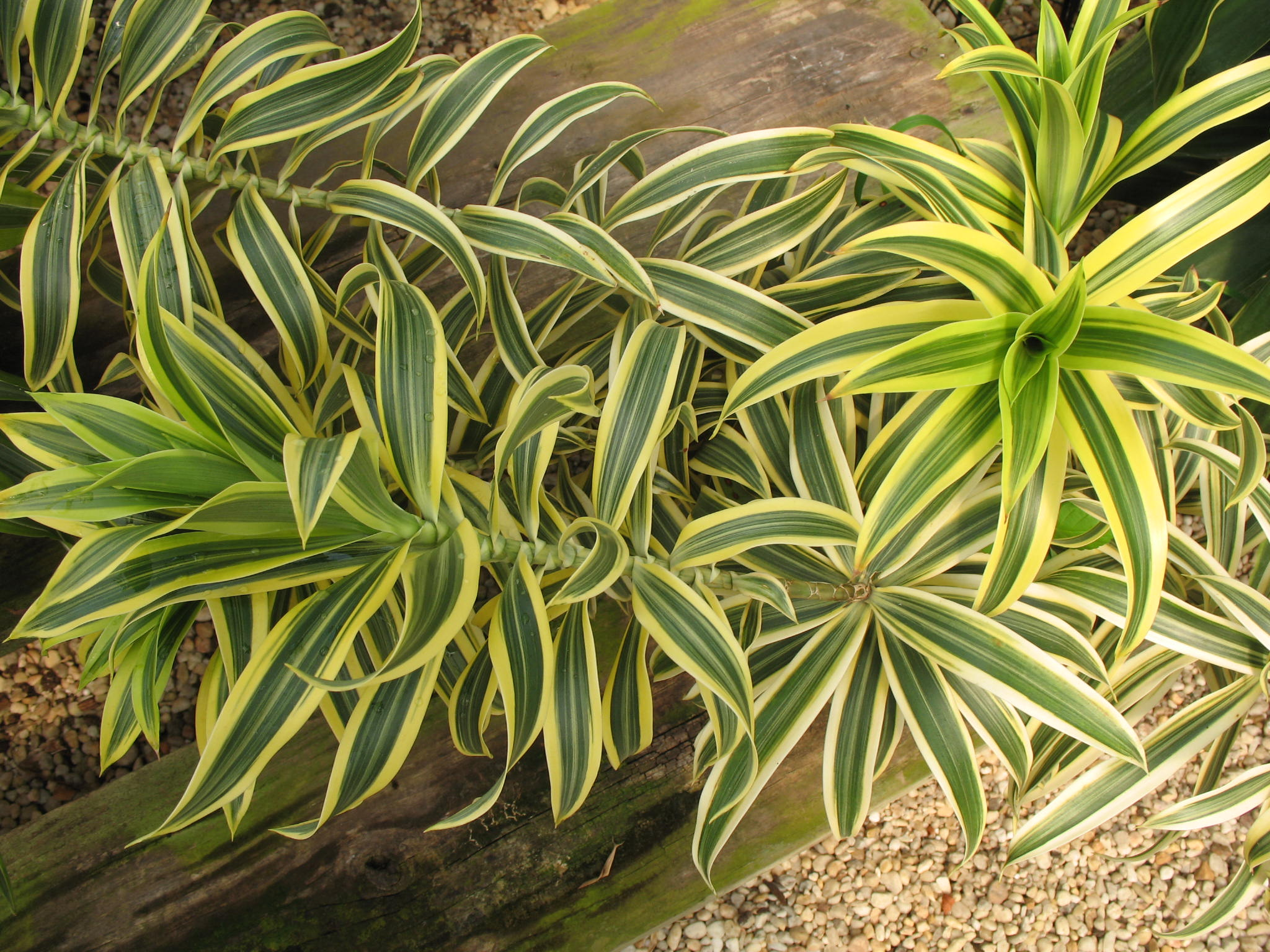 Dracaena reflexa 'Song of India'  / Dracaena reflexa 'Song of India'