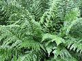 Japanese Wood Fern / Dryopteris pycnoieroides