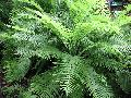 Rigid Buckler Fern / Dryopteris villarii