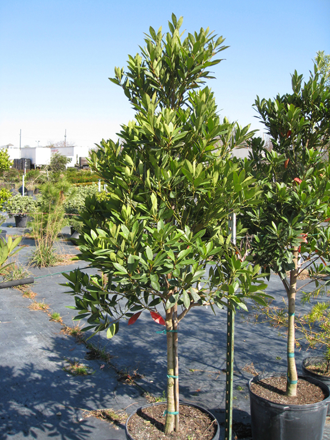 Elaeocarpus decipiens 'MonProud'  / Elaeocarpus decipiens 'MonProud'