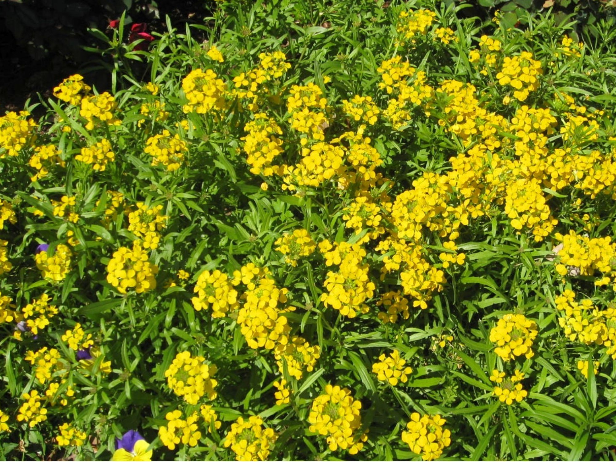 Erysimum 'Citrona Yellow' / Erysimum 'Citrona Yellow'