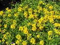 Wallflower / Erysimum