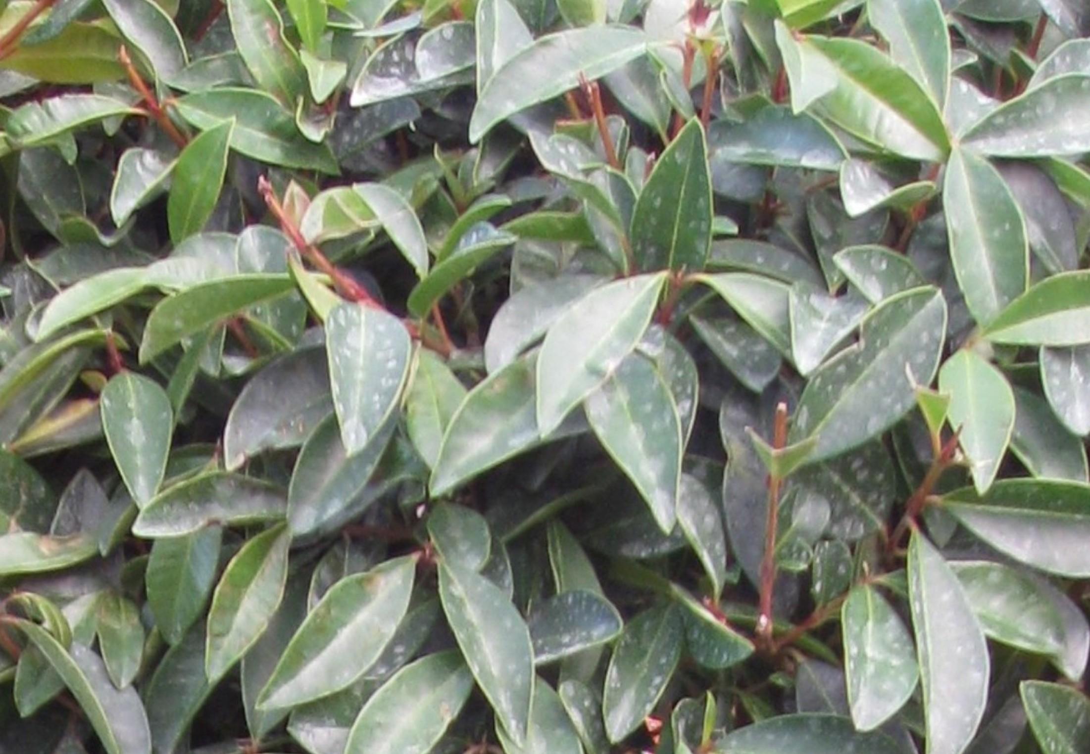 Eugenia myrtifolia / Eugenia myrtifolia