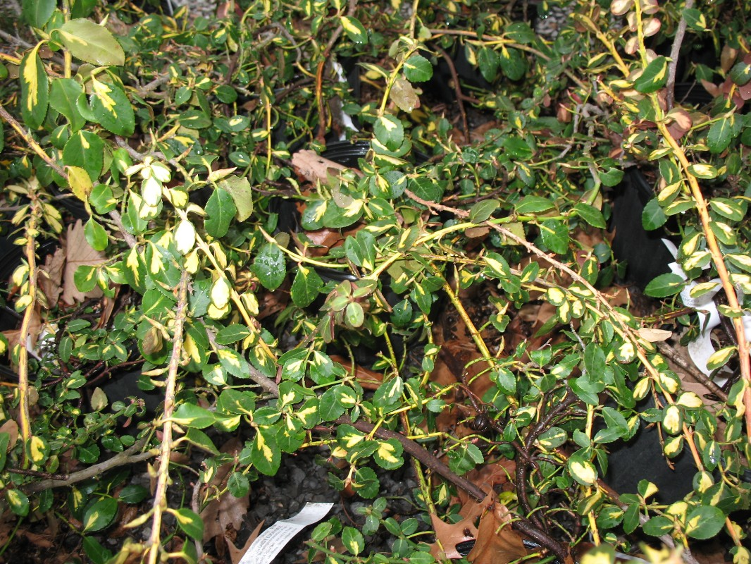 Euonymus fortunei 'Blondy'  / Euonymus fortunei 'Blondy'