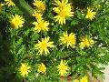 Yellow Daisy Bush / Euryops pectinatus