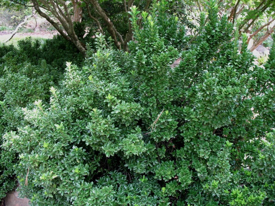 Euonymus japonicus 'Pulchellus'  / Euonymus japonicus 'Pulchellus'