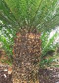 Bread Tree, Giant Cycad / Encephalartos altensteinii