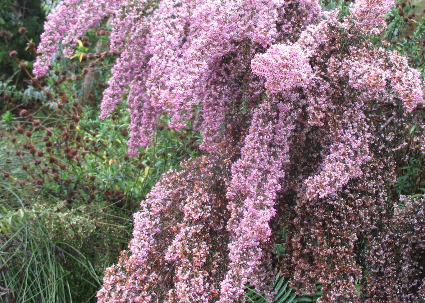 Erica canaliculata 'Rosea' / Erica canaliculata 'Rosea'