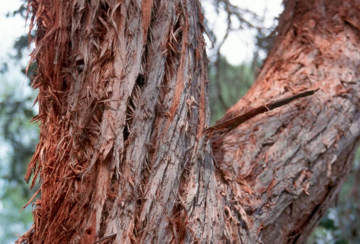 Eucalyptus cinerea / Eucalyptus cinerea