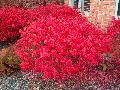 Compact Burning Bush / Euonymus alatus