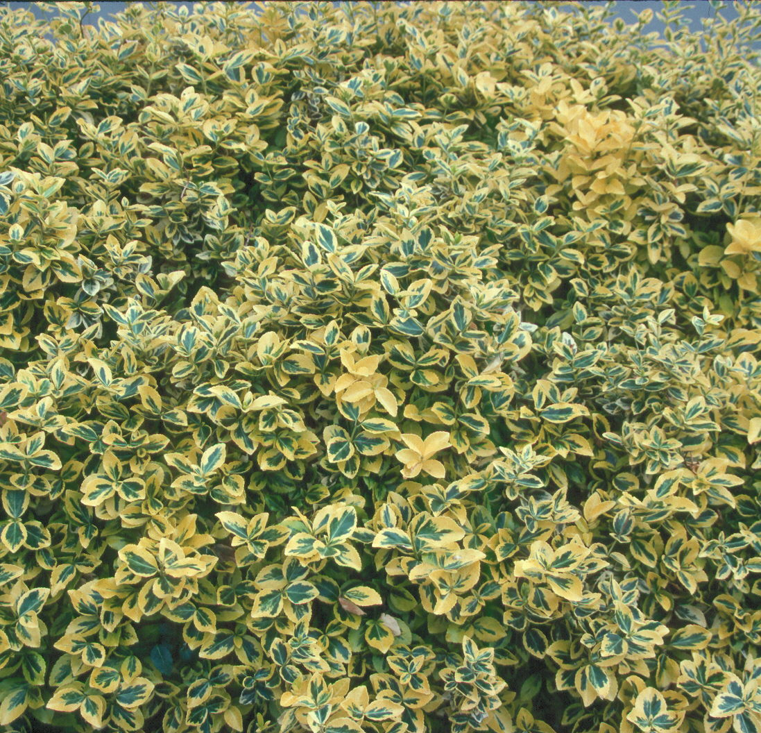 Euonymus fortunei 'Emerald n Gold'  / Euonymus fortunei 'Emerald n Gold'