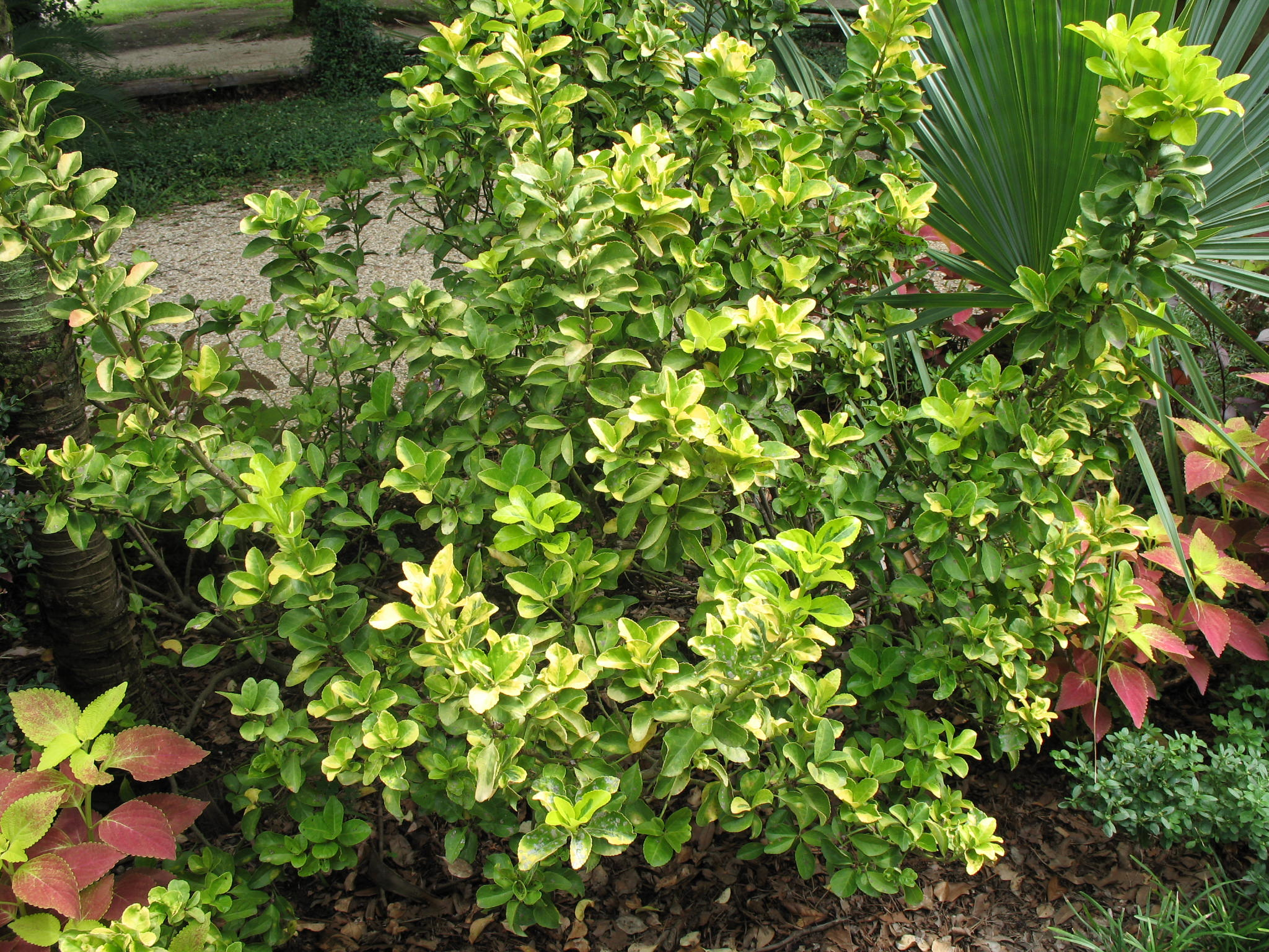 online plant guide euonymus japonicus 39 aureo marginata 39 golden euonymus. Black Bedroom Furniture Sets. Home Design Ideas