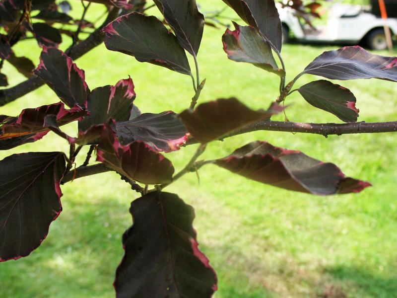 Fagus sylvatica 'Purpurea Tricolor'   / Fagus sylvatica 'Purpurea Tricolor'