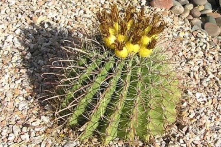 Online plant guide ferocactus wislizenii fishhook for Fish hook cactus