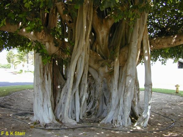 Online Plant Guide Ficus Benghalensis Indian Banyan