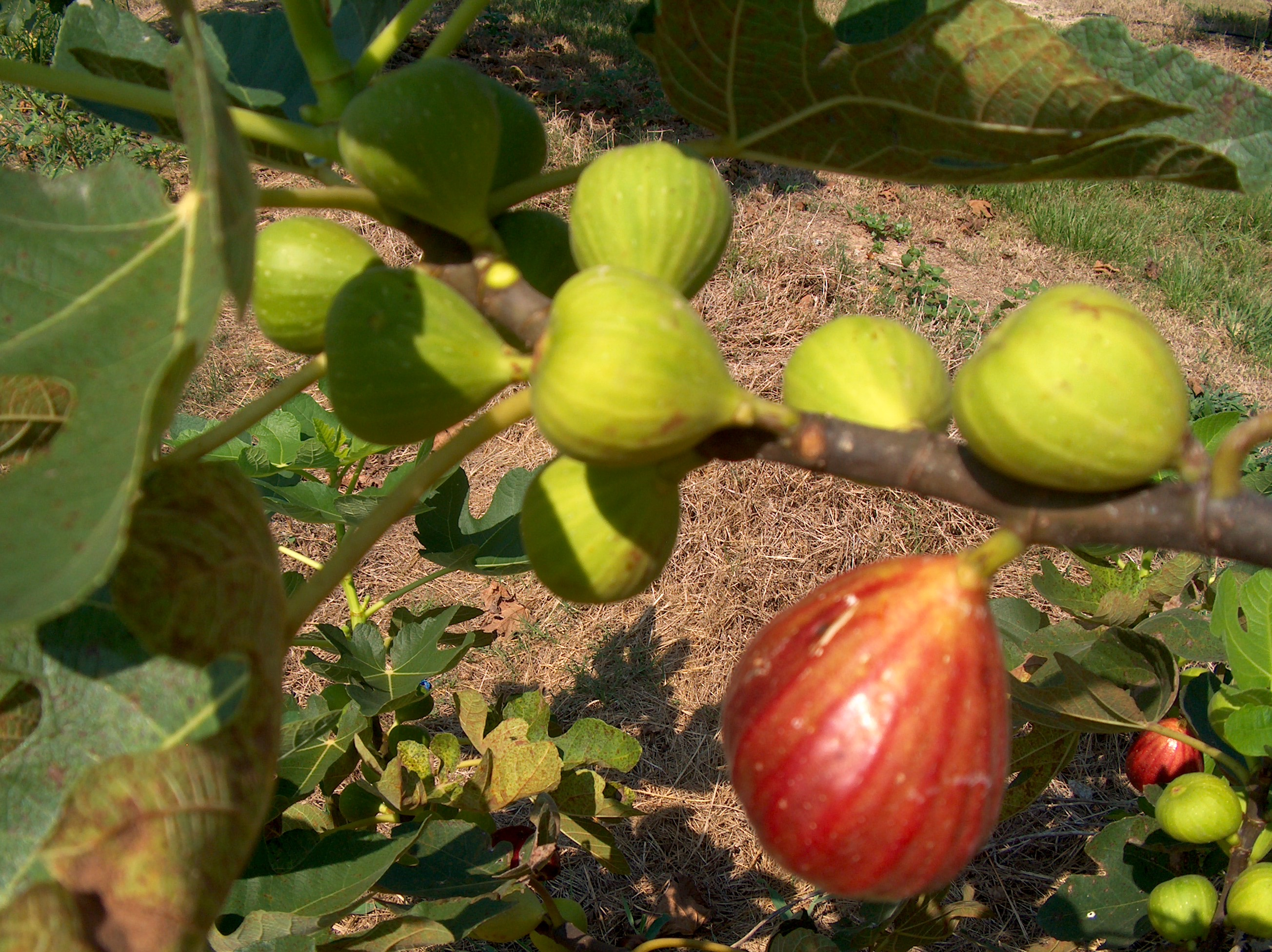 Ficus carica 'California Brown Turkey'   / California Brown Turkey Fig