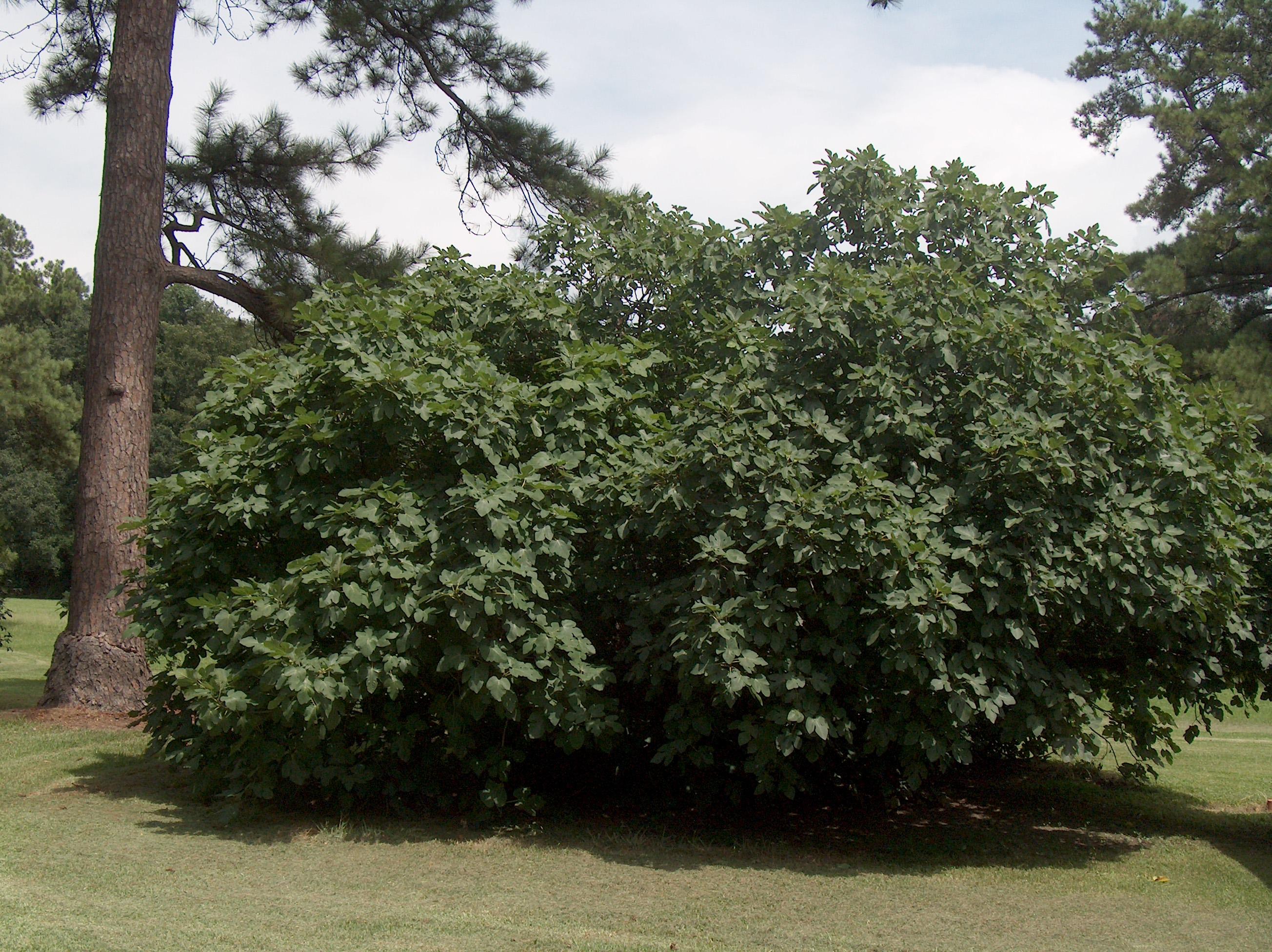 Ficus carica 'Celeste'   / Ficus carica 'Celeste'