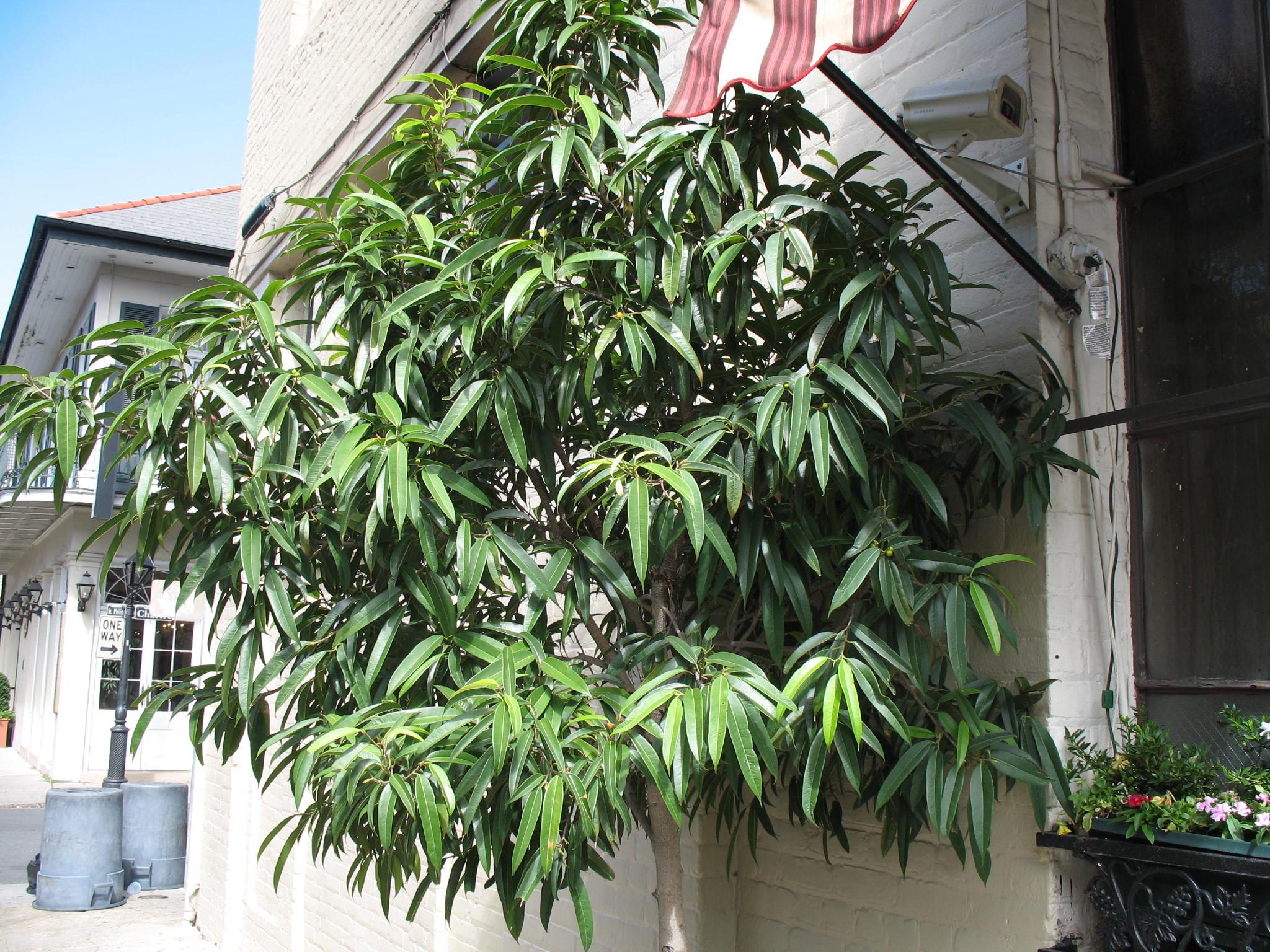 Ficus binnendijkii 'Alii' / Ficus binnendijkii 'Alii'