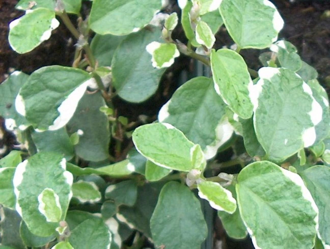 Ficus pumila 'Variegata'  / Variegated Fig Vine