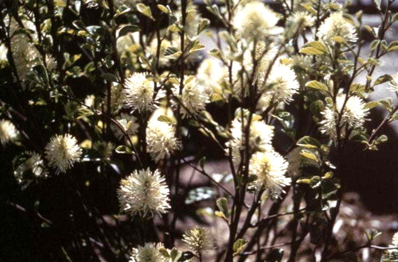 Fothergilla major / Fothergilla major