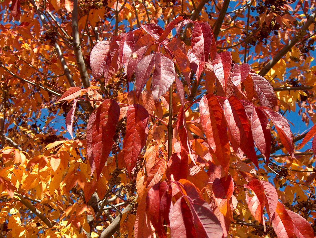 Fraxinus americana 'Purple Ash'   / Fraxinus americana 'Purple Ash'