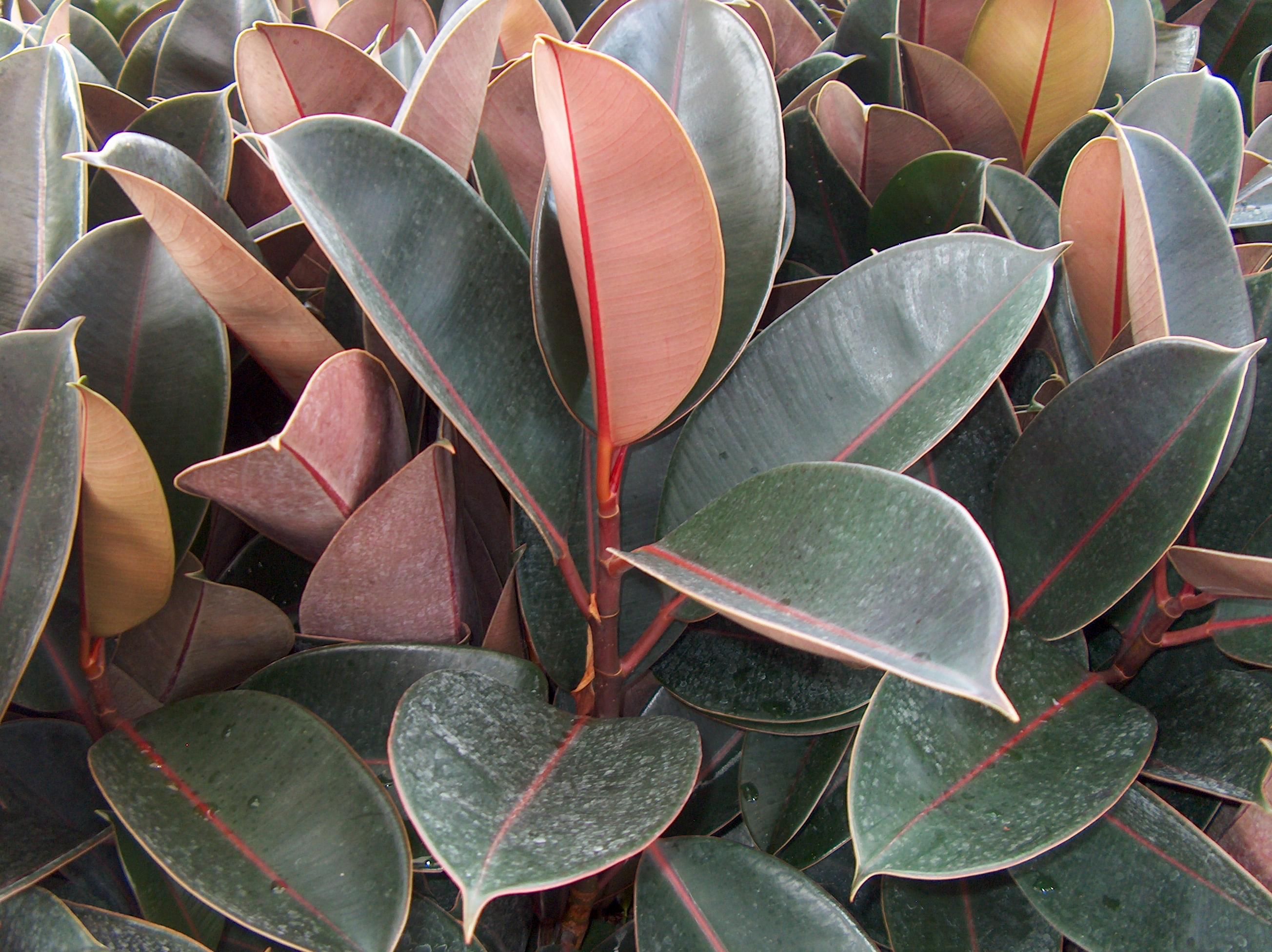 Ficus elastica 'Burgundy'    / Ficus elastica 'Burgundy'