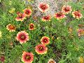 Indian Blanket / Gaillardia pulchella