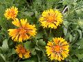 Oranges and Lemons Blanket Flower / Gaillardia x grandiflora