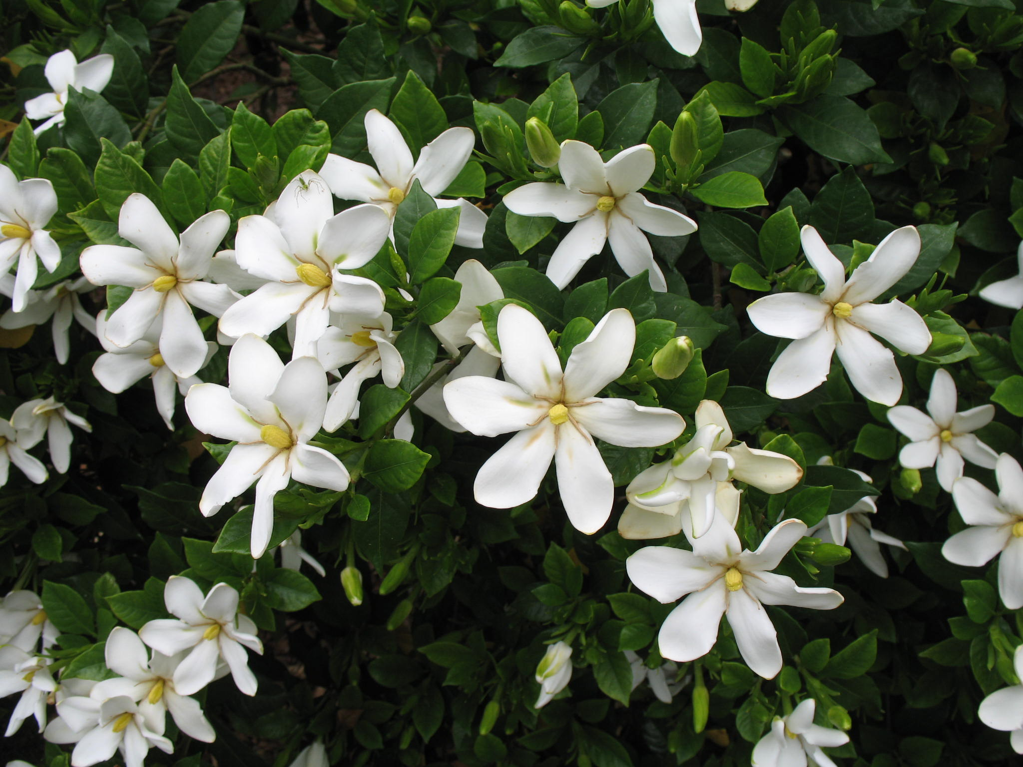 Gardenia augusta 'Shooting Star'  / Gardenia augusta 'Shooting Star'
