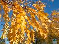 Inermis Thornless Honeylocust / Gleditsia triacanthos