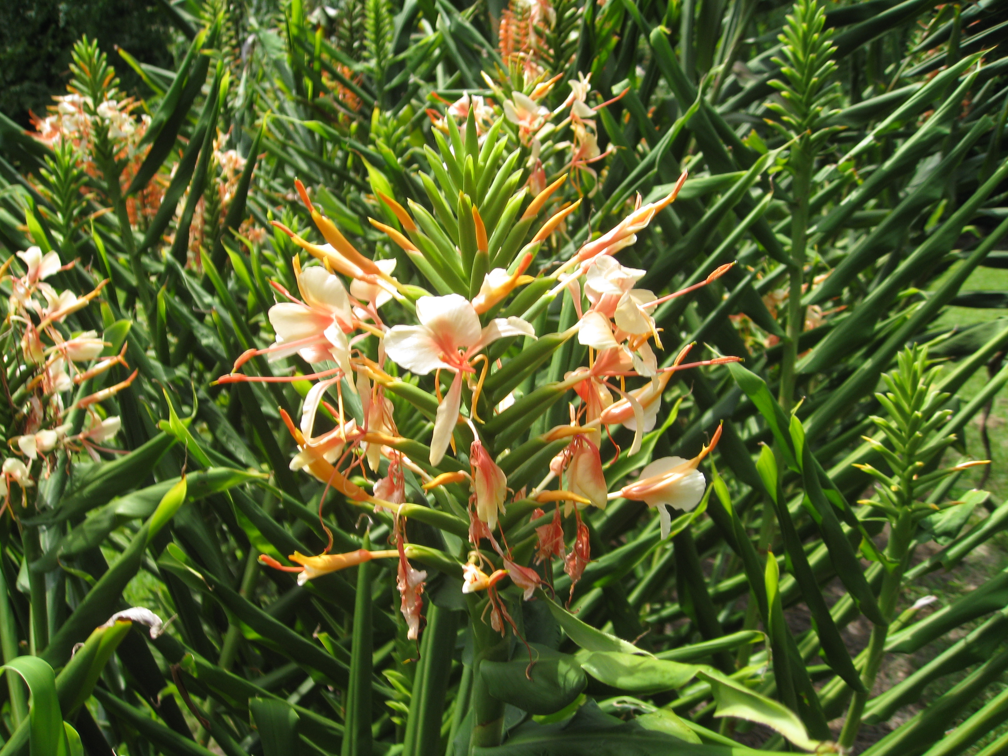Hedychium 'Tai Couch Pink' / Tai Couch Pink Ginger