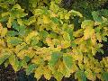 Vernal Witch Hazel / Hamamelis vernalis