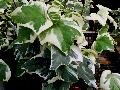 Golden Child Ivy / Hedera